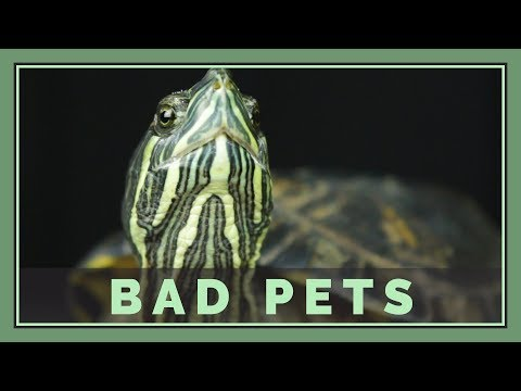 Red Eared Sliders are Bad Pets (For most people) - Pet Turtles