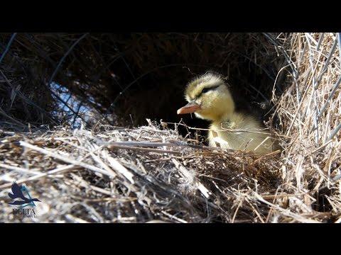 The Hen House - Mallard Nest Structure