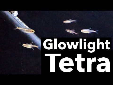 Care for Glowlight Tetra Fish - Schooling Tank