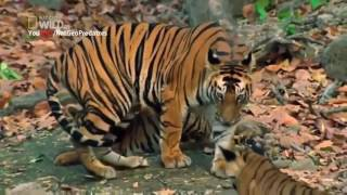 Nat Geo Wild - Tiger (Panthera Tigris) - Animal Wildlife Documentary