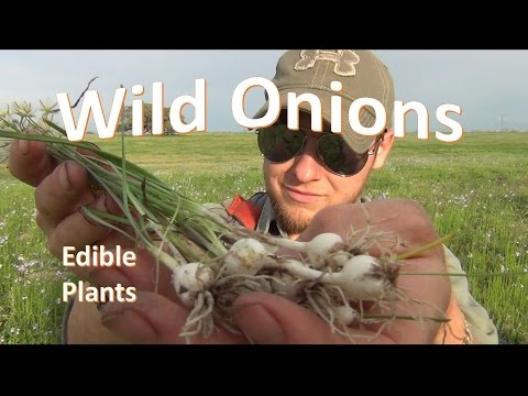 How to Identify and Pick Wild Onion