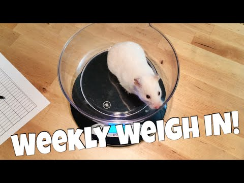 Weigh Day for the Hedgehogs, Hamsters, and Guinea Pigs!