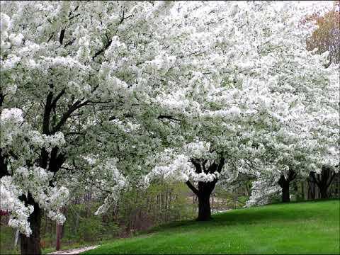 John McCormack - Loveliest of Trees (1941)