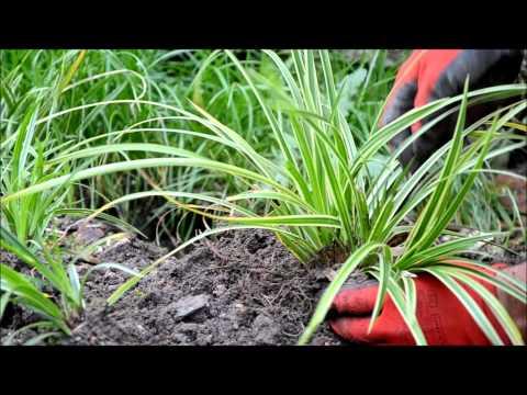 Žvilgioji viksva (Carex morrowii) 'Ice Dance' dauginimas.wmv