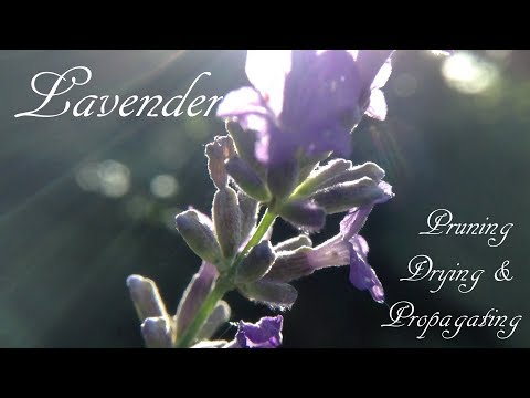 Lavender Pruning, Drying & Propagating
