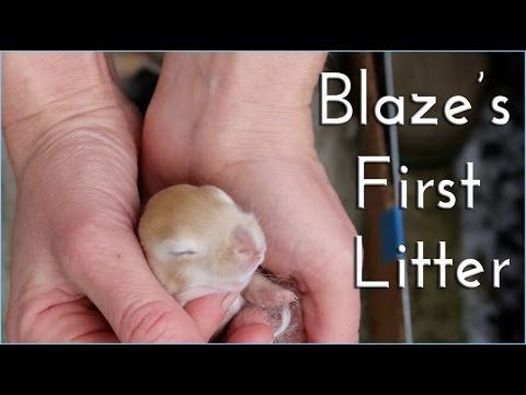 Backyard Rabbitry: Blaze's first litter.
