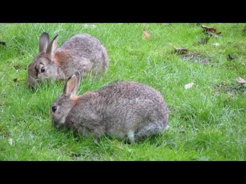 Rabbits in the garden.