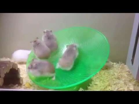 Funny Roborovski hamsters on a wheel xD