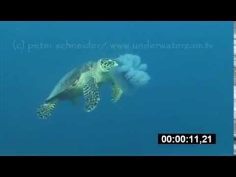 hawksbill turtle eating jellyfish