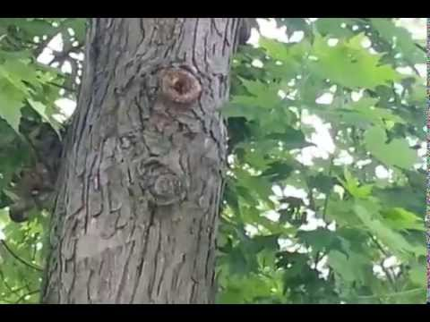 Bee Hive Removal from Tree Trunk