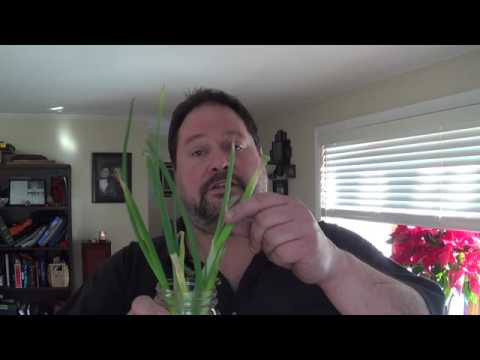 Never have Wilted Green Onions again! -DIY Daddy
