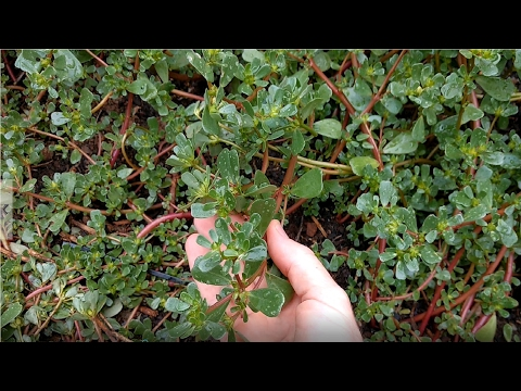 Edible Garden Weeds - How to find and prepare Purslane