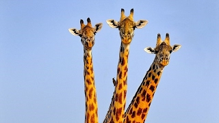 Giraffe With 3 HEADS Spotted ?
