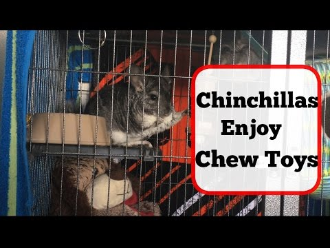 How To Keep Chinchillas Entertained / With Chew Toys