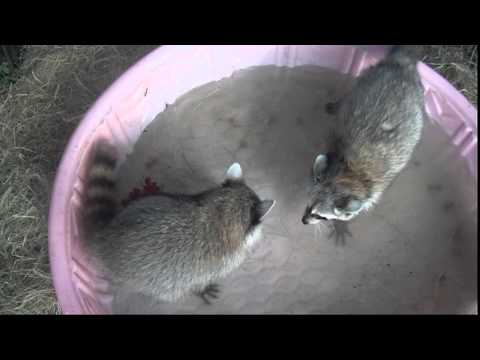 2 juvenile raccoons meet for the first time