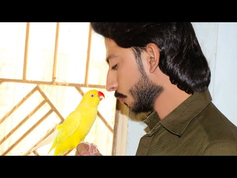 Yellow Ringneck Male Expired Grarmi Se Birds_Ko Bchao