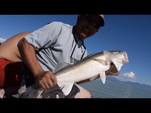 WHITE BASS HEAVEN AT UTAH LAKE