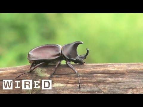 The Biggest Bro of the Insect Kingdom: The Rhino Beetle | WIRED