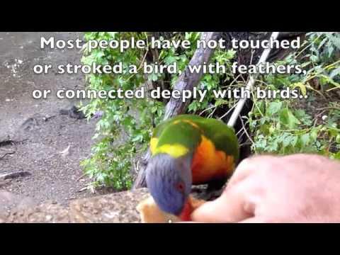Free Flying Rainbow Lorikeets In Cromer Sydney 280510