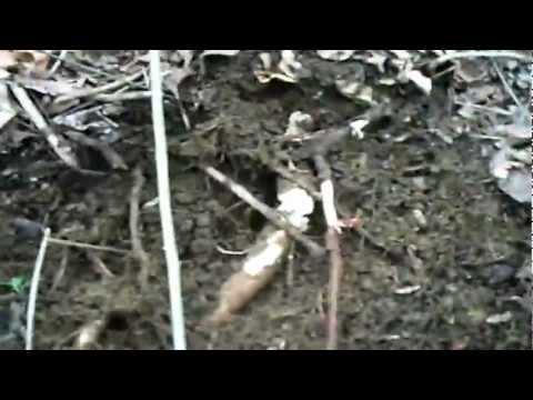 Digging sassafras root (Sassafras Albidum) video