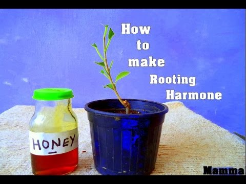 How to Make Rooting Hormone At Home ||  3 Ways to Make Natural Rooting Hormone -October 2016