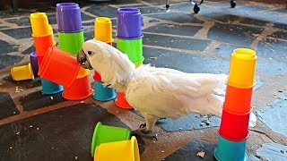 Cockatoo Got a New Toy