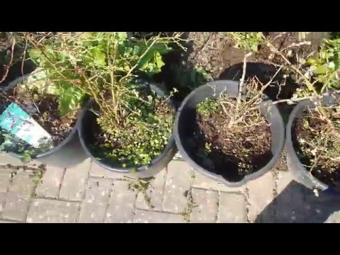 How to make blueberry compost