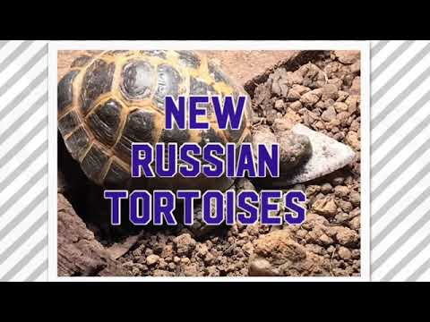 Newly adopted Russian Tortoise pair