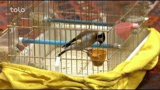 Download بامداد خوش - کاه فروشی - صحبت های حاجی اکبر زرگر در مورد پرنده سایره یا چوکر سایره Video