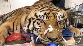 Tiger Undergoes Emergency Surgery