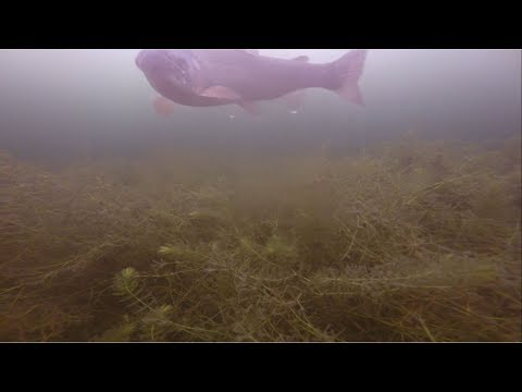 Ice Fishing: Underwater view of Trout schools! Tiger Trout, Rainbow trout, and even Golden Trout!