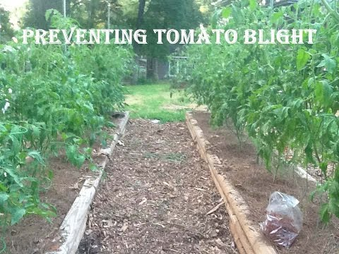 Organic Gardening:  Preventing and Treating Tomato Blight