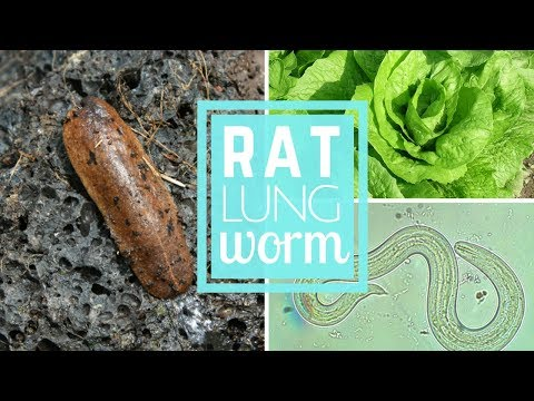 RAT LUNG WORM in HAWAII || MUST KNOW FOR TOURISTS AND LOCALS