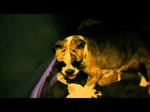 Clara Idiopathic head tremors- English bulldog