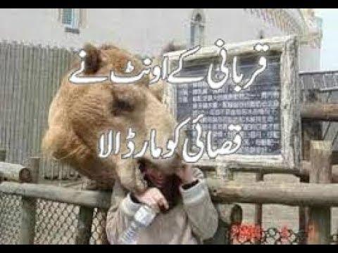 Qurbani Ke Camel (Aunth) Ne Qasai Ko Mar Dala, Butcher Killed By Camel
