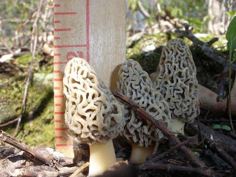 How do I find Morel Mushrooms? - Morel Truths: Episode 4