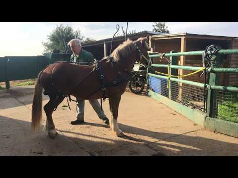 A simple way to harness a horse - how to put harness on - Barry Hook, Horse Drawn Promotions