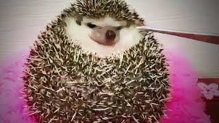 Funny Hedgehogs 😍 Cute Hedgehogs Being Funny (Part 1) [Funny Pets]