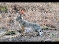 охота на зайца 2018 буйный заяц успокоил зайца с третьего выстрела Song mp3