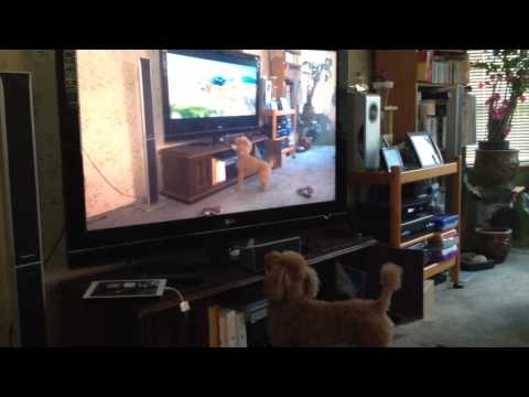 Dog barking at TV Dogs