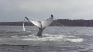 Humpback Tail Splashing