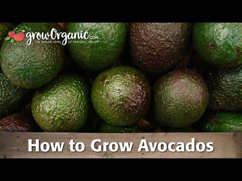 How to Grow Organic Avocados