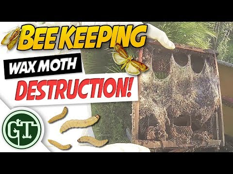 Wax Moths in Beehive - Moving Bees into New Hive
