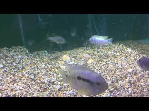 Catfish trying to eat breeding Cichlids eggs!