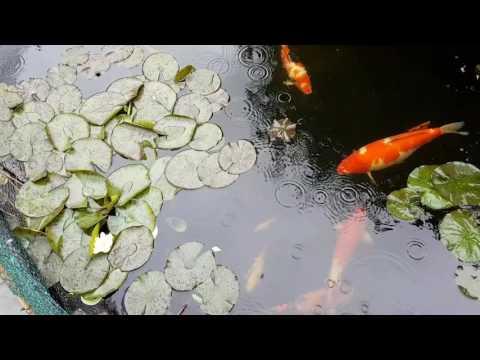 Cleaning Pond, Fish Scrape & RDF Update