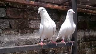 Neel dumbay pigeon,kalduma pigeon,kaldume pigeon