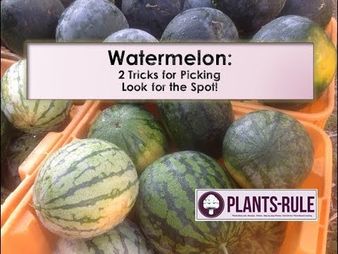 Watermelon: 2 Tips to Pick the Best Melon from Plants-Rule