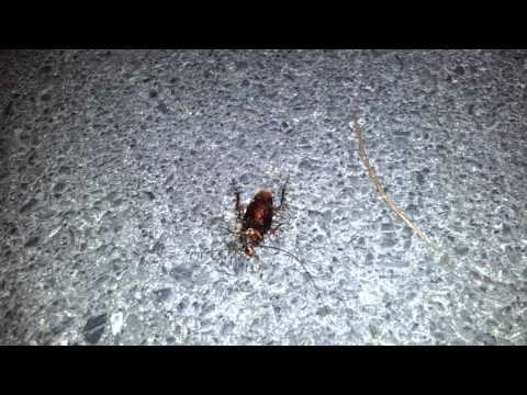 Ants Moving a Dead Cockroach