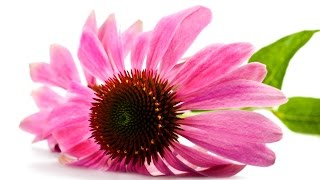 Echinacea benefits I Skin infections and more: