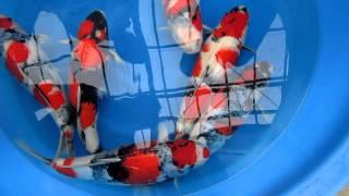 Tamaura Showa Tosais - Koi For Sale at Marugen Koi Farm